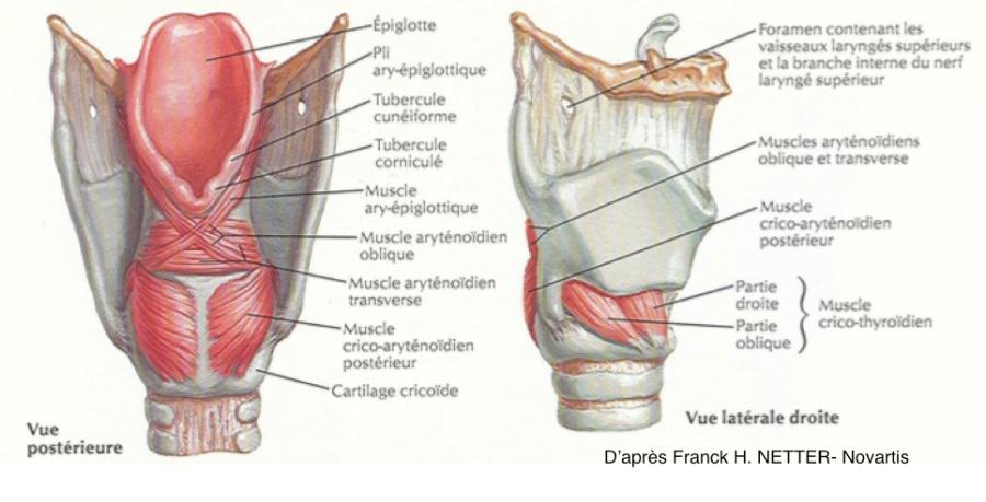 anatomie larynx.jpg