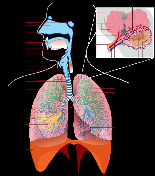 Système respiratoire.png
